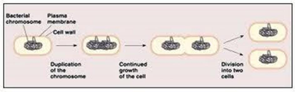THE CELL CYCLE & MITOSIS Asexual Reproduction: Production of genetically identical offspring from a single parent.