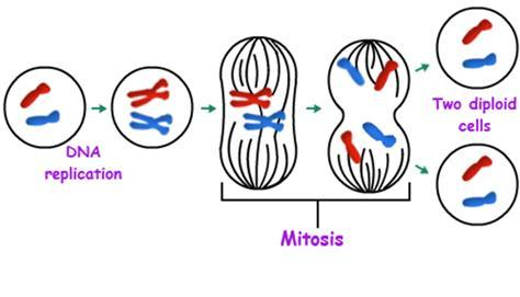 o G2 phase ( second gap ) where the cell completes preparations for cell division (like microtubule formation), and divides (M).