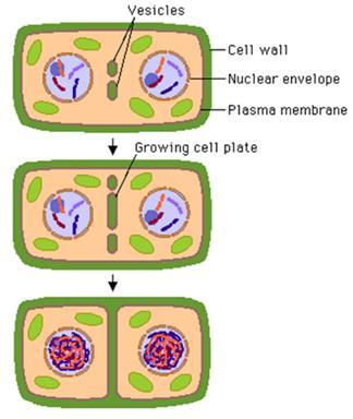 Cytokinesis in plants o Cytokinesis in plants, which have cell walls, involves a completely different mechanism.