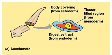 (3) The Bilateria can be divided by the presence or absence of a body cavity (a fluid-filled space separating the digestive tract from the outer