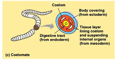 Coelomates are organisms with a true coelom, a fluid-filled body cavity completely lined by mesoderm.