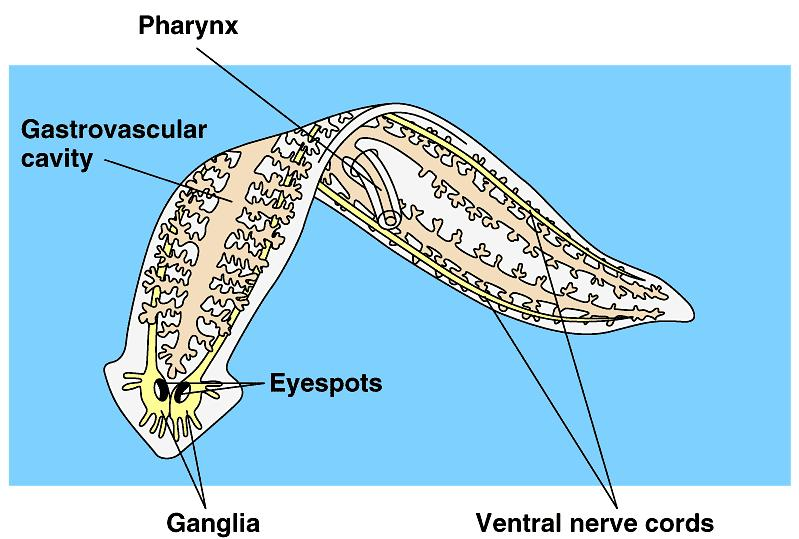 Planarians and other flatworms lack organs specialized for gas exchange and circulation.