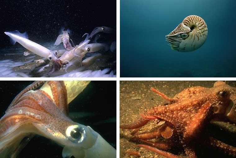 Cephalopods use rapid movements to dart toward their prey which they capture with several long tentacles. Water from the excurrent siphon provides the propulsion.