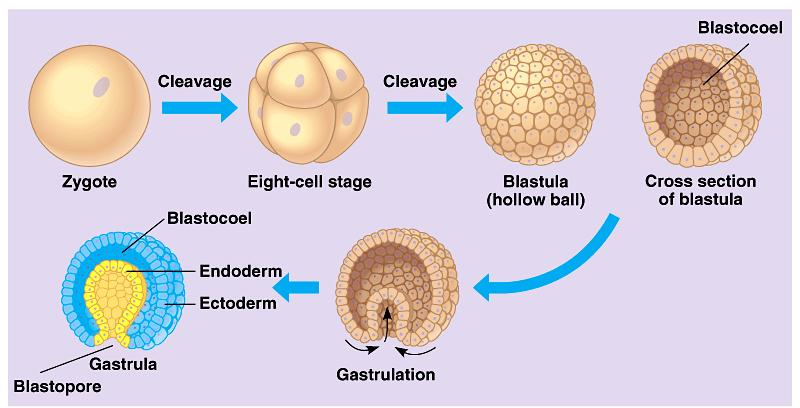 (4) Most animals reproduce sexually, with the diploid stage usually dominating the life cycle.