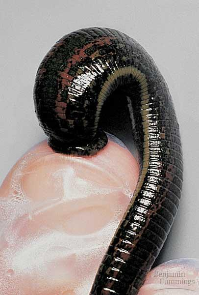 Until this century, leeches were frequently used by physicians for bloodletting.