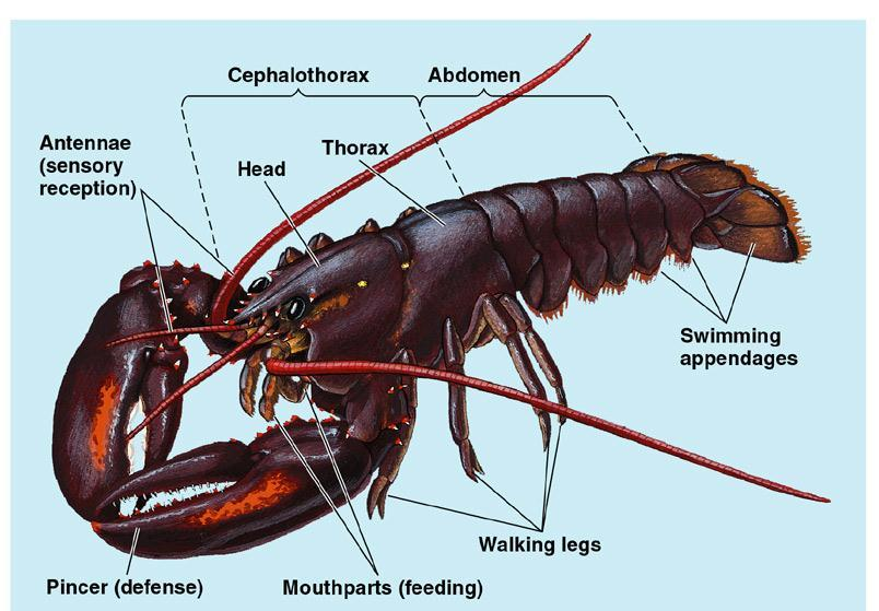 The diversity and success of arthropods is largely due to three features: body segmentation, a hard exoskeleton, and jointed appendages.