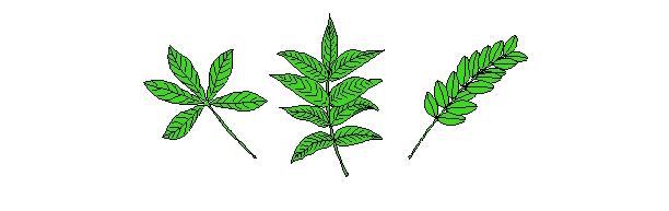 Types of Leaves Compound A compound