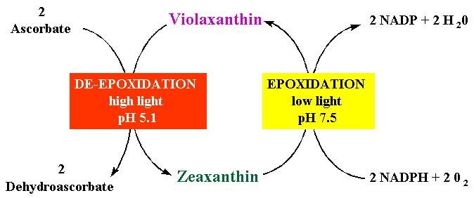 Energy dissipation by xanthophylls Low light = Violaxanthin is present