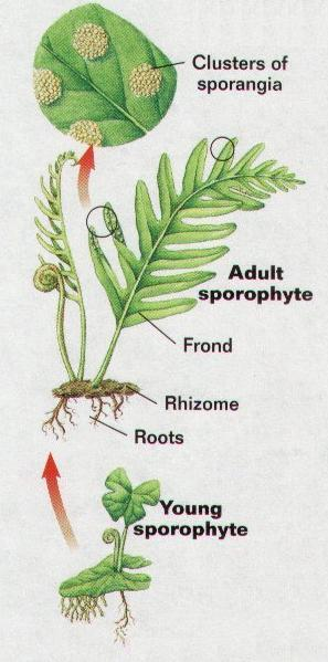 2.3 Gymnosperms Gymnosperms or conifers are plants with vascular tissues, and flowers, but without fruits. They are trees or shrubs, mostly evergreen and they grow in different climates.