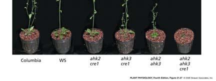 27 Phenotypes of Arabidopsis plants harboring mutations in cytokinin receptors Evidence CRE1 is a