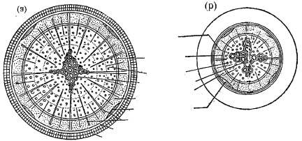 6.10c) but later becomes circular due to over production of secondary xylem tissue inner to primary phloem (Fig. 6.11a).