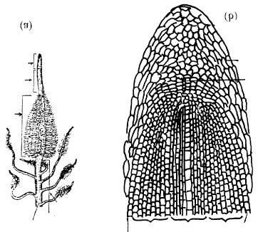 In the maize root tip, Clowes (1958) discovered a central cup-like reservoir of inactive cells, lying between the root cap and the active meristematic region, called the Quiescent Centre.