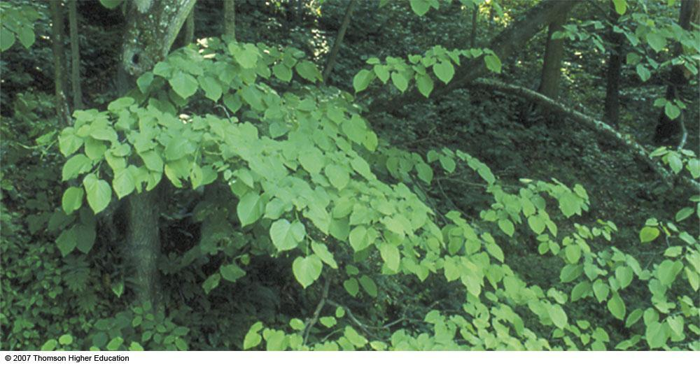 Leaves of basswood, a typical C3 plant.