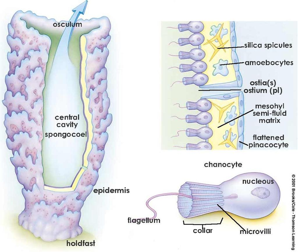 k.a. archaeocytes) = transport nutrients, complete