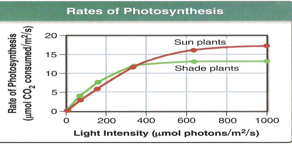 Stop & Think A) When light intensity is below 200 photons/m 2 /s, do sun plants or shade plants have a higher rate of photosynthesis?
