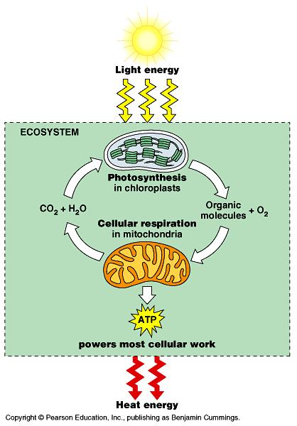 An organism s metabolism is part of Earth s carbon cycle Photosynthesis takes