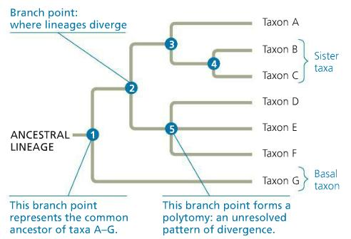 Dissecting the Parts of a Phylogenetic Tree In the diagram below, each branch point represents the divergence of two evolutionary lineages from a common ancestor.
