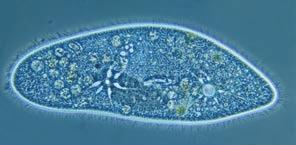 17 Structure and function in the ciliate Paramecium caudatum. Paramecium constantly takes in water by osmosis from its hypotonic environment.