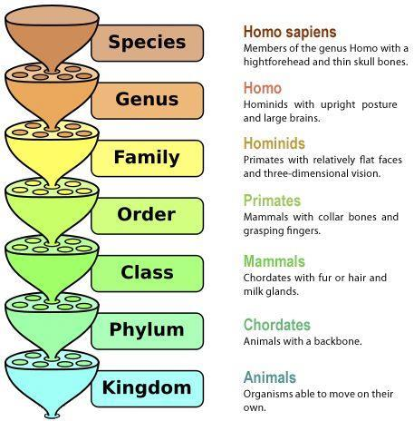 Taxonomic hierarchy For example,