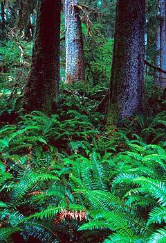 Temperate Rain Forest - northwestern U.S.