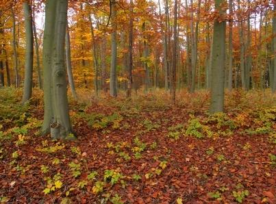 DECIDUOUS FOREST Deciduous trees= Trees that shed their leaves and grow new ones each year (Oaks, Maples ) Receive