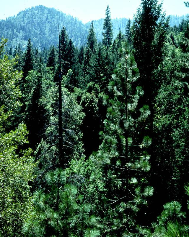 BOREAL FOREST (taiga) Mostly contains coniferous trees