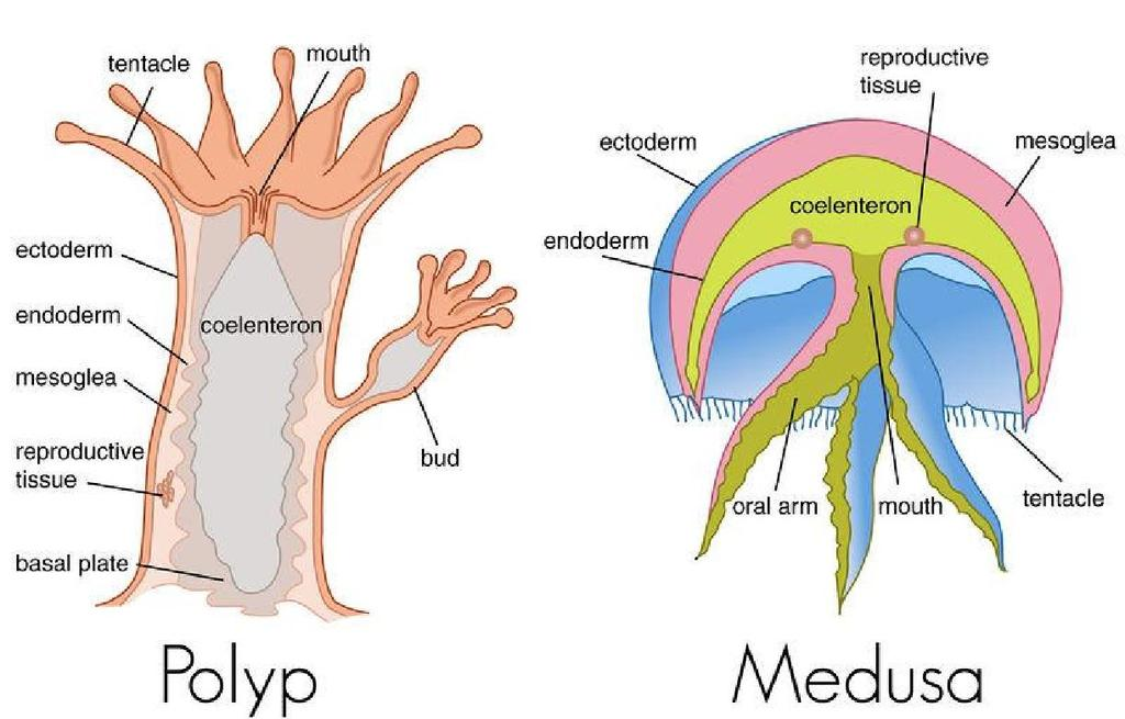 Characteristics of Phylum (continued): Two body forms exist : Medusa free floating form which is transported by water currents,