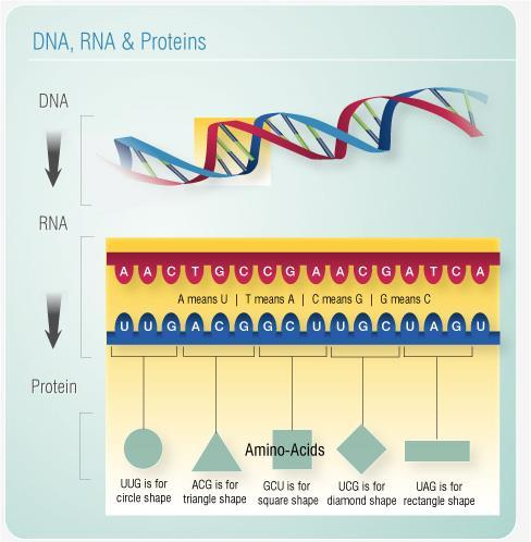 Ribosomes get their protein directions from the DNA sequence DNA RNA Proteins Specific Traits Bacteria have a few