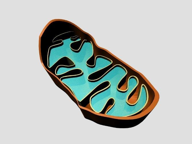 Mitochondria Inner fold increases the surface