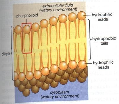 Cell MEMBRANE Structure phosphate head thin, flexible membrane around all cells double layer of fat phospholipid bilayer