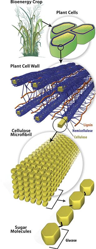 Cell Wall- Structure: Strong, supporting layer Found in plants, algae, fungi, and many prokaryotes (NOT found in animal cells) Found outside of the cell/plasma membrane Made of carbohydrates