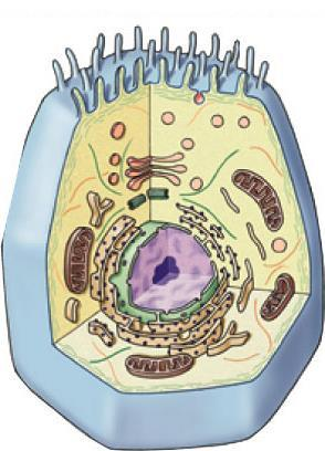 organelles, a true nucleus and