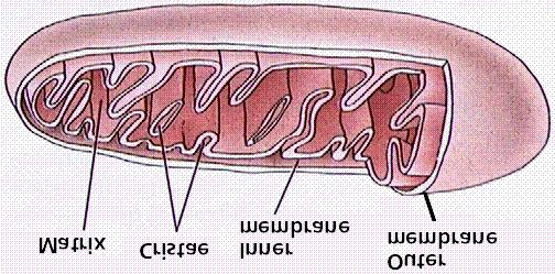 Organelles o Organelles are found in the cytoplasm.