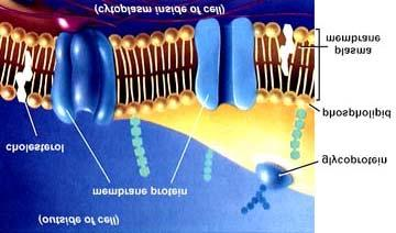 Cell membranes are semi-permeable.