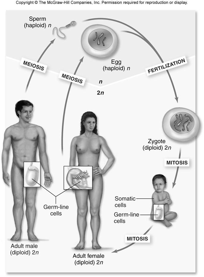 from 2 parents 2 Sexual life cycle Fertilization Alternation