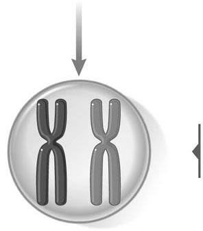 Meiosis I Sister chromatids First meiotic Replication during premeiotic interphase Each chromosome now consists of two sister chromatids.