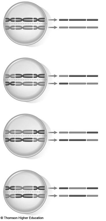 poles of the spindle In mitosis, homologues behave independently Orientation of each pair of homologues on the spindle