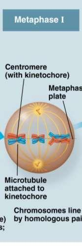 Metaphase I In metaphase I, tetrads line up at the metaphase plate, with one chromosome facing each pole Microtubules from one pole are