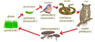 Producer an organism that can make its own food Consumer (plants, algae, some bacteria) an organism that obtains