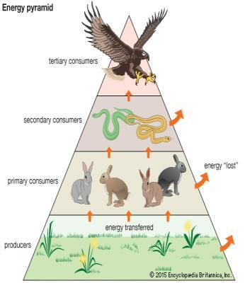 Energy pyramid a diagram that shows the amount of energy that moves from one feeding level to another in a food web When an organism in an ecosystem eats, it obtains energy.