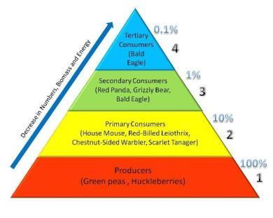The amount of energy that is available to the next consumer is now reduced. As energy moves up the pyramid, each level has less energy than the level below.