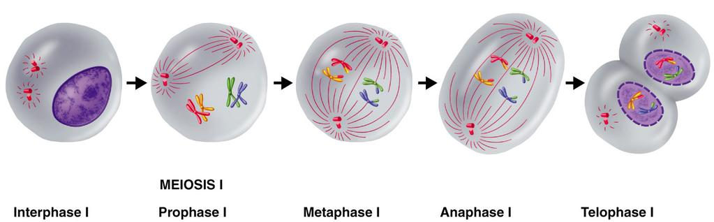 Meiosis I Occurs after DNA has been replicated.