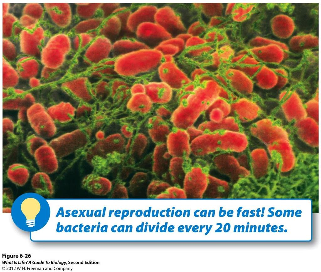 With asexual reproduction, the advantages