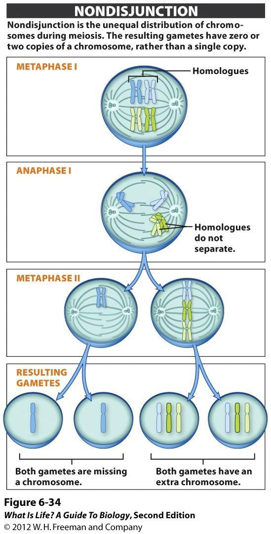 Nondisjunction The unequal distribution of chromosomes during meiosis Error of cell