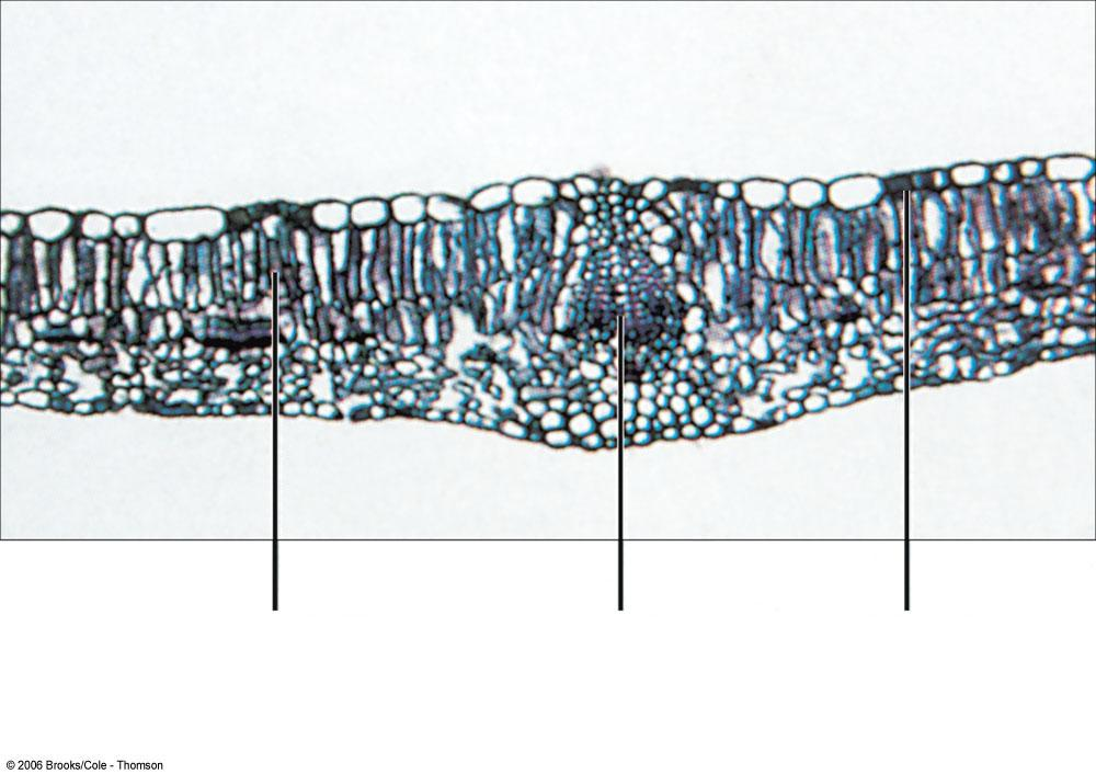 Cross section of a lilac leaf mesophyll (ground