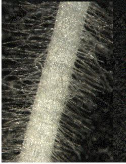 Root hair cells: epidermal cells of the root with projections.