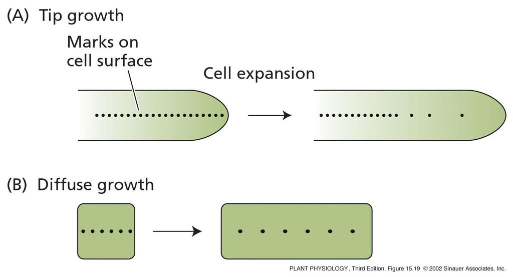 Cell growth: two mechanisms 1) tip growth (root hairs,