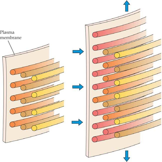 Plant cells normally expand 10 to 100-fold in volume. The cell wall expands by stress relaxation. Expansins (cell wall protein) are responsible for acidinduced stress relaxation.
