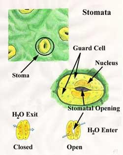 organism releases (uses) energy... CELLS go through respiration. They use the glucose. A plants stored energy is?
