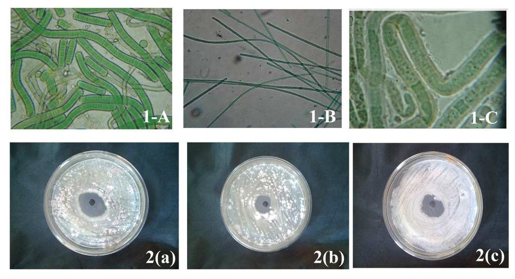 Antifungal activity Inhibitory effect by agar-well diffusion method: The antifungal activity of cyanobacteria 1-A, 1-B and 1-C against test fungi were shown in Table-1.
